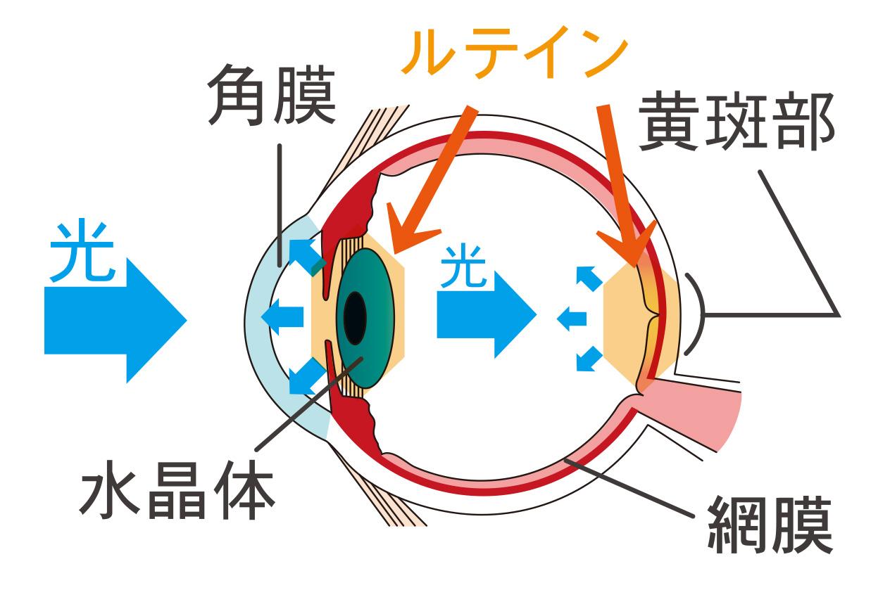 目断面図1